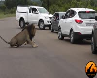 waptrick.com Lion Shows Tourists Why You Must Stay Inside Your Car